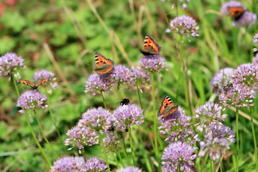 Green-to-Colour biodiversiteit_vlinders (04)