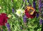 Green-to-Colour biodiversiteit_vlinders (6)